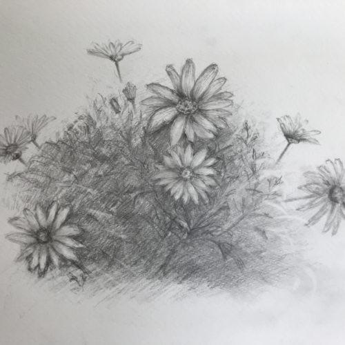 マーガレットの花  デッサン